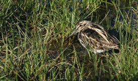 A rare Jack Snipe (Lymnocryptes minimus) resting in the marshland. Stock Image