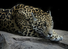 Rare Jaguar resting on a rock Royalty Free Stock Photography