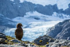 Rare Kea Bird in front of Glacier in New Zealand Royalty Free Stock Photos