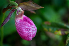 Rare lady slipper orchid Stock Photos
