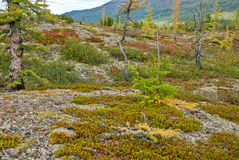 Rare larch in the tundra. Stock Photography