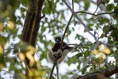 Rare lemur Crowned Sifaka, Propithecus Coquerel, feeds on tree leaves, Ankarafantsika Reserve, Madagascar. The rare lemur Crowned Sifaka, Propithecus Coquerel Royalty Free Stock Photo