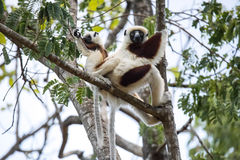 Rare lemur Crowned Sifaka, Propithecus Coquerel, a female with a cub sits on a tree, Ankarafantsika Reserve, Madagascar. One rare lemur Crowned Sifaka Stock Photo