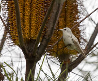 Rare Leucistic Anna`s Hummingbird Calypte anna feeding on Hairpin Banskia Banksia spinulosa flower. Royalty Free Stock Photos