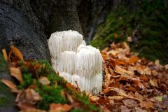 Rare Lion`s mane mushroom in a Dutch forest. The rare Edible Lion`s Mane Mushroom, Hericium Erinaceus, pruikzwam in the Forest. Beautifully radiant and striking stock image