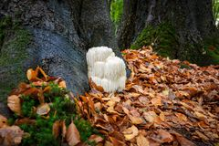 Free Rare Lion`s Mane Mushroom In A Dutch Forest Royalty Free Stock Photos - 102652658