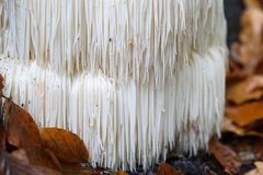 Free Rare Lion`s Mane Mushroom In A Dutch Forest Stock Images - 102652704