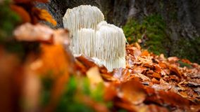 Free Rare Lion`s Mane Mushroom In A Dutch Forest Royalty Free Stock Photos - 102652748