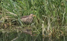A rare Little Bittern Ixobrychus minutus hunting for food in the reeds in the UK. Stock Images