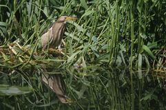 A rare Little Bittern Ixobrychus minutus hunting for food in the reeds in the UK. Royalty Free Stock Image