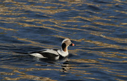 A rare Long-tailed duck, Clangula hyemalis male in breeding plumage, in the sea in Scotland. Stock Photos