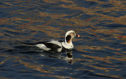 A rare Long-tailed duck, Clangula hyemalis male in breeding plumage, in the sea in Scotland. royalty free stock images