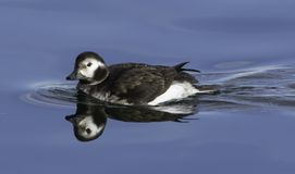 Rare Long-tailed Duck reflection stock images