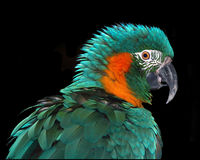 Rare Macaw. This is a colorfully profile of a rare Macaw Royalty Free Stock Images