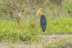 Rare male Lesser adjutant stork Stock Photography