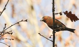 A stunning rare male Parrot Crossbill Loxia pytyopstittacus perched on a branch in a tree. A rare male Parrot Crossbill Loxia pytyopstittacus perched on a Royalty Free Stock Images