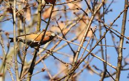 A stunning rare male Parrot Crossbill Loxia pytyopstittacus perched on the branch of an Oak Tree in winter. A rare male Parrot Crossbill Loxia pytyopstittacus Stock Photos