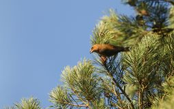 A stunning rare male Parrot Crossbill Loxia pytyopstittacus perched in the branches of a pine tree eating the cones. A rare male Parrot Crossbill Loxia Royalty Free Stock Image