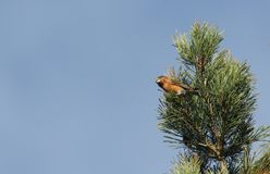 A stunning rare male Parrot Crossbill Loxia pytyopstittacus perched at the top of a fir tree in winter. It has been feeding on t. A rare male Parrot Crossbill Royalty Free Stock Images