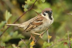 A rare Tree Sparrow Passer montanus perching on a branch in a bush in the UK. A rare male Tree Sparrow Passer montanus perching on a branch in a bush in the UK Royalty Free Stock Images