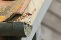 A rare Tree Sparrow Passer montanus perching on the gutter of a tiled roof of a building in the UK. It has its nest under the t. A rare male Tree Sparrow Passer Royalty Free Stock Photography