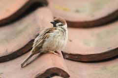 A rare Tree Sparrow Passer montanus perching on the tiled roof of a building in the UK. It has its nest under the tiles. A rare male Tree Sparrow Passer Royalty Free Stock Photography