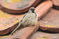 A rare Tree Sparrow Passer montanus perching on the tiled roof of a building in the UK. It has its nest under the tiles. A rare Male Tree Sparrow Passer Stock Image