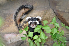 Rare Marbled polecat Vormela. The marbled polecat (Vormela peregusna) is a small mammal was classified as a vulnerable species in the IUCN Red List.The picture stock image
