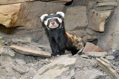 Rare Marbled polecat Vormela. The marbled polecat (Vormela peregusna) is a small mammal was classified as a vulnerable species in the IUCN Red List.The picture royalty free stock photography