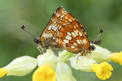 A rare mating pair of Duke of Burgundy Butterfly Hamearis lucina perched on a cowslip flower. Royalty Free Stock Image