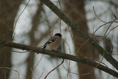 Bullfinch, migratory birds of Russia stock photos