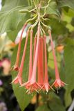 Rare Mexican Fuchsia Stock Photo