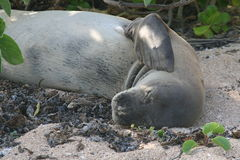 Rare Monk Seal close up. Endangered monk seal playfully rests on the sea shore in Hawaii Stock Photos