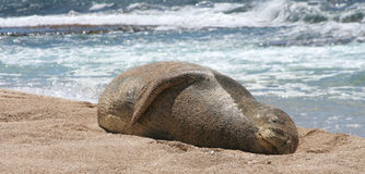 Rare Monk Seal rests in the sun. Endangered monk seal rests in the sun on the sea shore in Hawaii Royalty Free Stock Photography