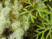 Rare mosses in New Zealand Royalty Free Stock Images