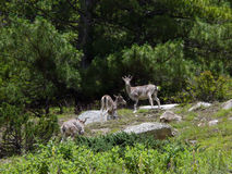 Rare Musk Deers in a Himalayan Pine Forest Stock Image
