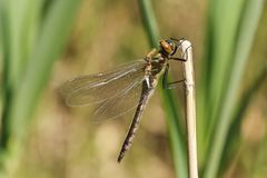 A stunning rare newly emerged Downy Emerald Dragonfly Cordulia aenea perching on a reed at the side of a pond. A rare newly emerged Downy Emerald Dragonfly royalty free stock photo