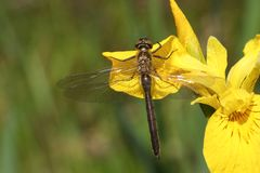 A stunning rare newly emerged Downy Emerald  Dragonfly Cordulia aenea perching on a yellow flag flower. A rare newly emerged Downy Emerald  Dragonfly Cordulia Stock Images