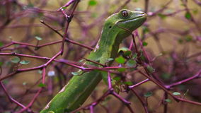 A rare Northland green gecko New Zealand. A rare Northland green gecko,Naultinus grayii, New Zealand.it is one of the rarest and most highly sought after lizards stock video