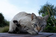 Rare ojos azules blue eyed cat sitting on a wooden table royalty free stock photos