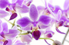 Rare orchid backgound. Rare purple Orchid isolated on white background photo taken:2010/04/19 royalty free stock photo
