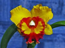 A rare orchid of Brazilian flora stock image