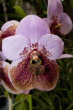 Orchid Euanthe sanderiana. Rare orchid Euanthe sanderiana in greenhouse Stock Image