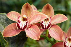 Rare orchid flowers. Stock Photography