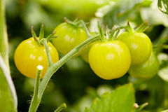 Rare organic tomatoes Royalty Free Stock Images