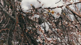 Rare phenomenon. Snow in spring. Branches of the Blossoming apple tree on which the snow lies. Snow on flowers.Climate. A rare phenomenon. Snow in spring stock video footage