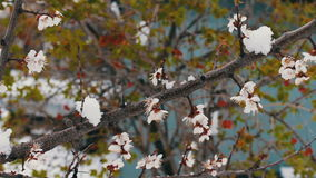 Rare phenomenon. Snow in spring. Branches of the Blossoming apple tree on which the snow lies. Snow on flowers.Climate stock video footage