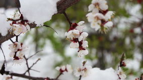 Rare phenomenon. Snow in spring. Branches of the blossoming apple tree on which the snow lies. Snow on flowers.Climate stock footage