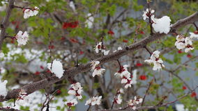 Rare phenomenon. Snow in spring. Branches of the Blossoming apple tree on which the snow lies. Snow on flowers.Climate stock video
