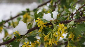 Rare phenomenon. Snow in spring. Branches of the Blossoming tree on which the snow lies. Snow on flowers.Climate Change stock video footage